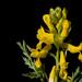 Corydalis aurea - Photo no hay derechos reservados