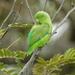 Perico Cola Verde - Photo (c) Nelson Wisnik, algunos derechos reservados (CC BY-NC)