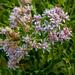 Acourtia wrightii - Photo (c) Richard Reynolds, algunos derechos reservados (CC BY-NC)