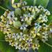 Broadleaf Milkweed - Photo (c) Richard Reynolds, some rights reserved (CC BY-NC)