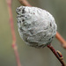 Rabdophaga strobiloides - Photo (c) Charlotte Bill, μερικά δικαιώματα διατηρούνται (CC BY-NC)