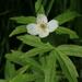 Anemonastrum dichotomum - Photo (c) Svetlana Nesterova,  זכויות יוצרים חלקיות (CC BY-NC)