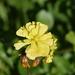 Oxalis pes-caprae pleniflora - Photo (c) Lies Van Rompaey, algunos derechos reservados (CC BY)