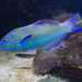 Puddingwife - Photo (c) Brian Gratwicke, some rights reserved (CC BY)