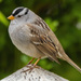 White-crowned Sparrow - Photo (c) uzun, some rights reserved (CC BY-NC)