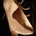 Prolimacodes lilalia - Photo (c) tapaculo99, algunos derechos reservados (CC BY-NC)