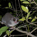 Dwarf Lemurs - Photo (c) Frank Vassen, some rights reserved (CC BY)
