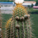 Trichocereus chiloensis chiloensis - Photo (c) Martin Lowry, some rights reserved (CC BY-NC)