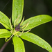 Multi-leaf Paris - Photo (c) Licheng Shih, some rights reserved (CC BY)