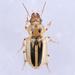 Stenolophus lineola - Photo (c) Owen Strickland, algunos derechos reservados (CC BY-NC)