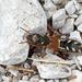Staphylinus caesareus - Photo (c) Hennie Cuper, algunos derechos reservados (CC BY-NC)