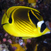 Raccoon Butterflyfish - Photo (c) terence zahner, some rights reserved (CC BY-NC)