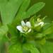 Geranium texanum - Photo (c) Robby Deans,  זכויות יוצרים חלקיות (CC BY-NC)