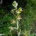 Epipactis microphylla - Photo (c) Stavros Apostolou,  זכויות יוצרים חלקיות (CC BY-NC)