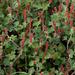 Hierba del Cáncer - Photo (c) Richard Reynolds, algunos derechos reservados (CC BY-NC)