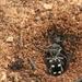 Eccoptoptera mutilloides - Photo (c) Lauren Steyn, alguns direitos reservados (CC BY-NC-ND)