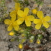 Pine Barren Goldenheather - Photo (c) dogtooth77, some rights reserved (CC BY-NC-SA)