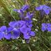 Gentianopsis crinita - Photo (c) Jesse Lincoln, algunos derechos reservados (CC BY-NC)