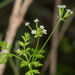 Tainturier's Chervil - Photo no rights reserved