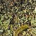 Neophyllis melacarpa - Photo (c) Ken Harris EntSocVic, alguns direitos reservados (CC BY-NC)