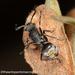 Polyrhachis vermiculosa - Photo (c) Mark Ayers, algunos derechos reservados (CC BY-NC)