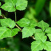 Three-leaved Eleutherococcus - Photo (c) Kinmatsu Lin, some rights reserved (CC BY-NC)