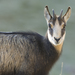 Northern Chamois - Photo (c) Henri Bourgeois-Costa, some rights reserved (CC BY-NC-ND)