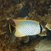 פרפרון שחור-זנב - Photo (c) Paul Asman and Jill Lenoble,  זכויות יוצרים חלקיות (CC BY)