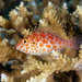 Pixy Hawkfish - Photo (c) terence zahner, some rights reserved (CC BY-NC)