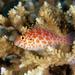 Halcón de Coral - Photo (c) terence zahner, algunos derechos reservados (CC BY-NC)