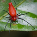 Dominican Spider - Photo (c) Thomas Shahan, some rights reserved (CC BY-NC)