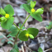 Ouachita Spurge - Photo (c) anhe, some rights reserved (CC BY-NC)