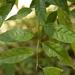 Aporosa acuminata - Photo (c) siddarthmachado, algunos derechos reservados (CC BY-NC)