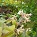 Rubus floribundus - Photo (c) jnauita, algunos derechos reservados (CC BY-NC)