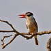 White-eared Puffbird - Photo (c) Dario Sanches, some rights reserved (CC BY-SA)