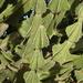 Euphorbia cooperi - Photo (c) blkvulture, algunos derechos reservados (CC BY-NC)
