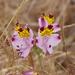 Alstroemeria pulchra - Photo (c) charif_tala, μερικά δικαιώματα διατηρούνται (CC BY-NC)