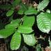 Notholithocarpus densiflorus - Photo (c) randomtruth,  זכויות יוצרים חלקיות (CC BY-NC-SA)