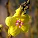 Verbascum sinuatum - Photo (c) .Bambo., osa oikeuksista pidätetään (CC BY-NC-SA)