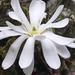 Magnolia Estrella - Photo (c) mahaliamata, algunos derechos reservados (CC BY-NC)