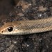 Mojave Patchnose Snake - Photo (c) 2014 Todd Battey, some rights reserved (CC BY-NC-SA)
