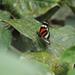 Heliconius eximius - Photo (c) Bitty A. Roy, μερικά δικαιώματα διατηρούνται (CC BY-NC)