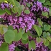 Judas-Tree - Photo (c) faerthen, some rights reserved (CC BY-NC)