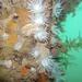 Sagartiidae - Photo (c) Chris Moody, μερικά δικαιώματα διατηρούνται (CC BY-NC)