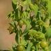Lysimachia linum-stellatum - Photo (c) José María Escolano, algunos derechos reservados (CC BY-NC-SA)