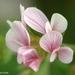 Ornithopus sativus - Photo (c) Valter Jacinto | Portugal,  זכויות יוצרים חלקיות (CC BY-NC-SA)