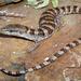 Lagarto Escorpión del Panamint - Photo (c) Flaxington, algunos derechos reservados (CC BY-NC)