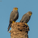 Grey Kestrel - Photo (c) Allan Hopkins, some rights reserved (CC BY-NC-ND)