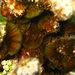 Lobophora variegata - Photo (c) 2010 Moorea Biocode, alguns direitos reservados (CC BY-NC-SA)