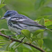 Cerulean Warbler - Photo (c) Jerry Oldenettel, some rights reserved (CC BY-NC-SA)